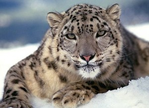 leopard des neiges Ladakh 300x217 photo
